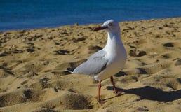 Seagull ptasi patrzeć zacofany zdjęcia royalty free