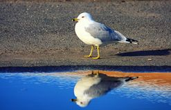Seagull and puddle of water Royalty Free Stock Images