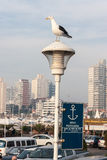 Seagull in Punta del Este Uruguay Royalty Free Stock Photo