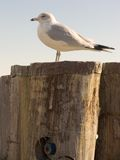 Seagull on Pylon. Seagull standing on pier pylon overlooking the water Stock Photos