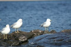 Seagull in Quebec. Canada, north America. Royalty Free Stock Photo