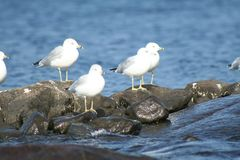 Seagull in Quebec. Canada, north America. Royalty Free Stock Photos
