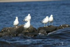 Seagull in Quebec. Canada, north America. Royalty Free Stock Image