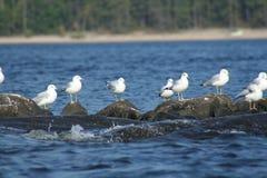 Seagull in Quebec. Canada, north America. Stock Photos