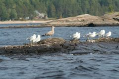 Seagull in Quebec. Canada, north America. Royalty Free Stock Images