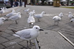 Seagull. At Queenstown , New Zealand Stock Photo