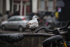 Seagull on a railing with bicycle Stock Photos