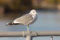 Seagull on the railing closeup Stock Photo