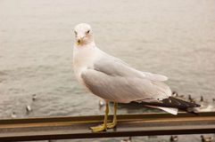Seagull on the railing Stock Photography