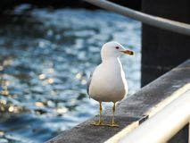 Seagull on railing in harbor royalty free stock photos