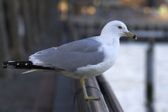 Seagull on railing Stock Photo