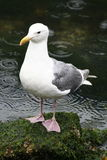 Seagull in the Rain. A seagull standing proud on a moss-covered rock braving the rain that's seen falling in the water behind Royalty Free Stock Photo