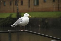 Seagull in the rain looking miserable. A seagull stands in the rain looking a bit miserable stock photography