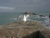 Seagull on the ramparts of Saint Malo. With a fort in background, 2007 Royalty Free Stock Image