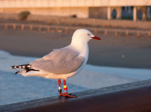 Seagull in the ray of morning sun Stock Photography