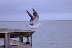 Seagull ready for take-off Royalty Free Stock Photo