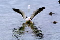 Seagull ready for takeoff Royalty Free Stock Images