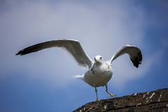 Seagull Ready for Takeoff Royalty Free Stock Image