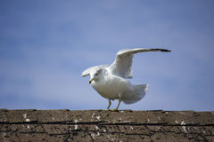 Seagull Ready for Takeoff Royalty Free Stock Photo