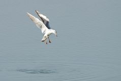 Seagull ready to dive Royalty Free Stock Photos