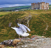 Seagull ready to fly with the background of Tintagel castle hotel, Cornwall, United Kingdom Stock Image