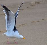 Seagull ready to fly. Birds Wing at full height Stock Images