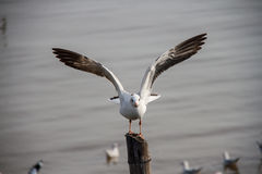 Seagull. Ready to flying to freedom of life Royalty Free Stock Photography