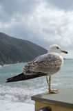 Seagull. Ready to take flight if threatened Royalty Free Stock Images