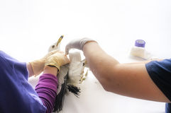 Seagull Receiving Leg Cast Stock Photo