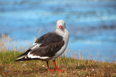 Seagull with a red beak and legs Stock Photography