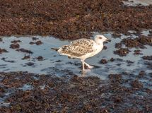 Seagull in the Red Tide Stock Image