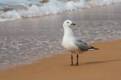 Seagull Redbilled στην παραλία Στοκ Εικόνα