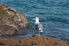 Seagull in the reef Royalty Free Stock Images