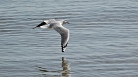 Seagull reflected in water. A seagull's wing type almost touches the water as he flies along the shallows Royalty Free Stock Photography