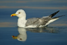 Seagull reflection Royalty Free Stock Photo