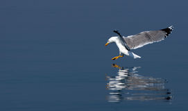 Seagull reflection. Seagull flying over sea reflection in water Stock Image