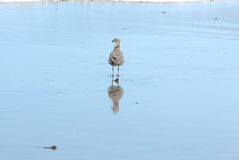 Seagull and reflection in the shoreline Stock Photos