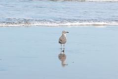Seagull and reflection in the shoreline Stock Photo