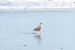 Seagull and reflection in the shoreline Royalty Free Stock Photography