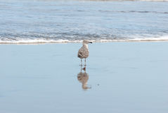 Seagull and reflection in the shoreline Royalty Free Stock Photo