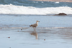 Seagull and reflection in the shoreline Royalty Free Stock Image