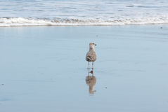 Seagull and reflection in the shoreline Stock Photography