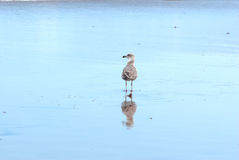 Seagull and reflection in the shoreline Stock Images