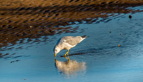 Seagull Reflections Royalty Free Stock Photos