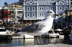 A seagull relaxes in Cape Town Harbour Stock Image