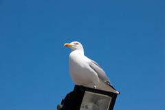 Seagull. Relaxing on the catwalk Royalty Free Stock Photos