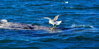 Seagull removing parasites of a humpback whale. Seagull removing parasites of a humpback whale Stock Photos