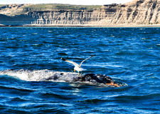 Seagull removing parasites of a humpback whale. Seagull removing parasites of a humpback whale Royalty Free Stock Image