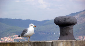 Seagull rested after a flight. In search of fishing Stock Photos