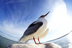 Seagull resting Royalty Free Stock Photography